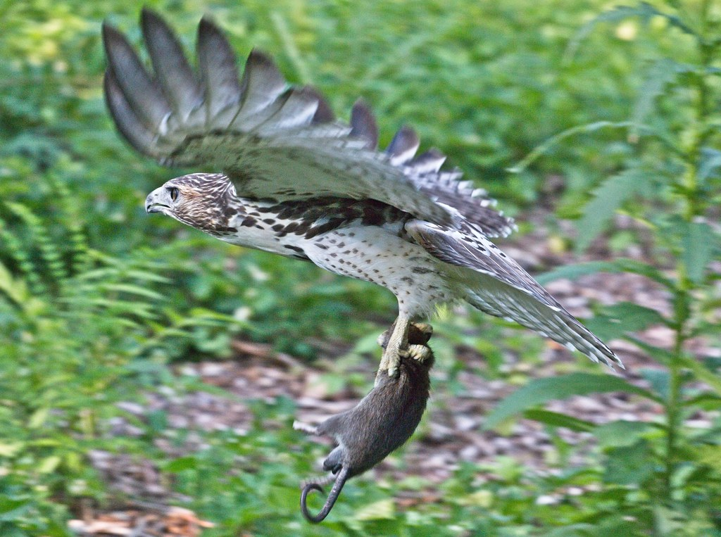 Tompkins fledgling flies with a rat