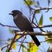 Blue-Black Grassquit B306973focPr por jvpowell
