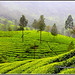7163 - tea gardens by chandrasekaran a 55 lakhs views Thanks to all.