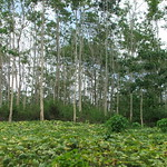 Improved fallow agroforestry system, Philippines
