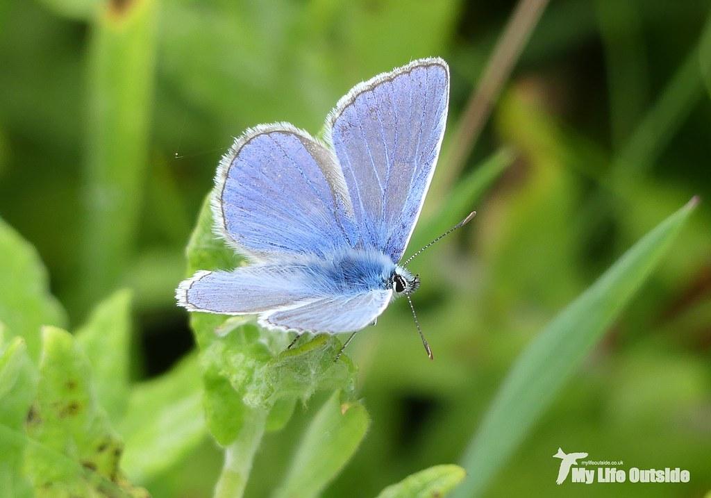 P1110365 - Common Blue