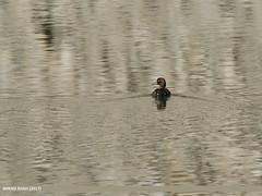 Tufted Duck (Aythya fuligula)
