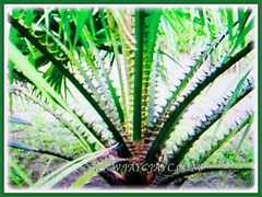 horny petioles of Saribus rotundifolius (Round-leaf Fountain Palm, Fan/Footstool Palm, Table Palm, Java Fan Palm, Anahaw Palm), 3 Sept 2017