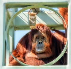 OrangutanStare