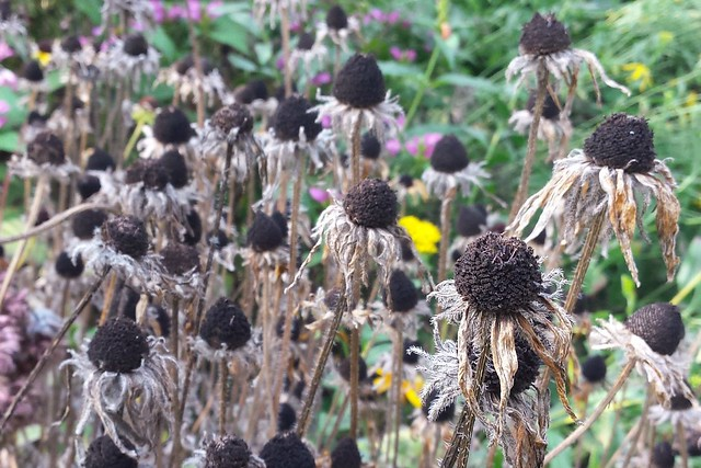 more than two dozen dark-brown seedheads, with only a few shriveled petals remaining