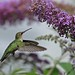 Ruby - throated hummingbird at butterfly bush by Thank you for 1.5 Million views
