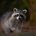 North American raccoon (Procyon lotor) by PeterQQ2009