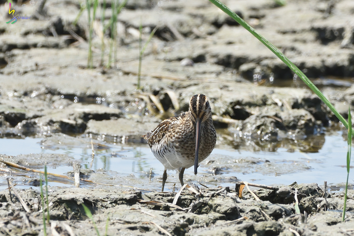Common_Snipe_7607