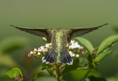 The rear view of a Black-chinned Hummingbird