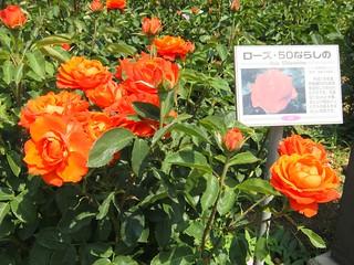 谷津バラ園の薔薇 07