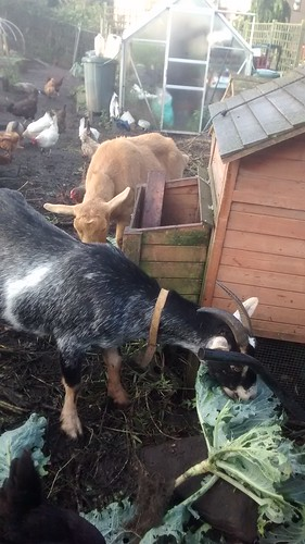 goats eating cabbages Sept 17