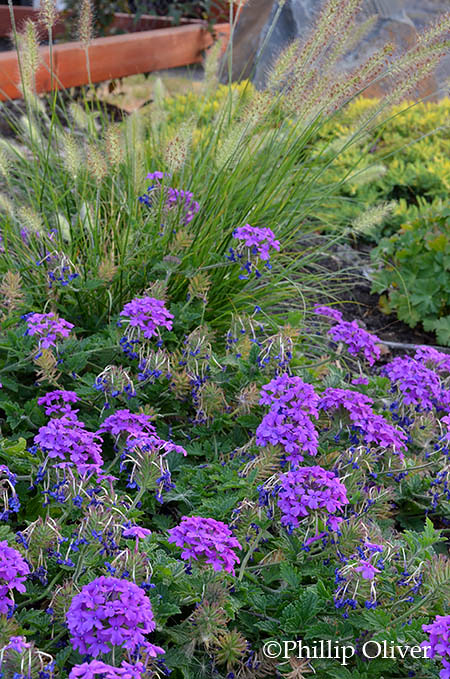 verbena-homestead-purple-hamlyn-grass