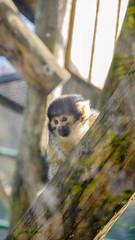 Le regard du Singe-écureuil