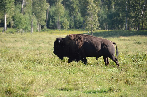 Elk Island Bison bull