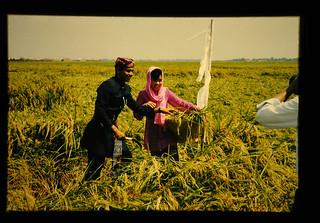 Rice Harvesting Ceremony By Miss And Mister Jakarta = ミスとミスタージャカルタによる稲刈り取りセレモニー
