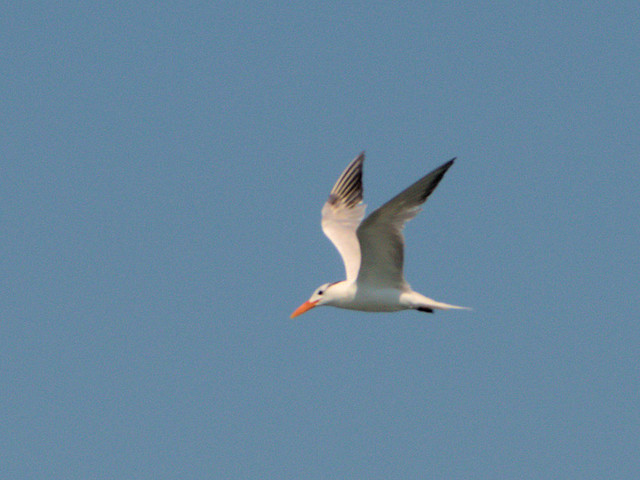 Royal Tern 20170818