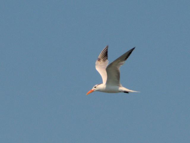 Royal Tern 20170818