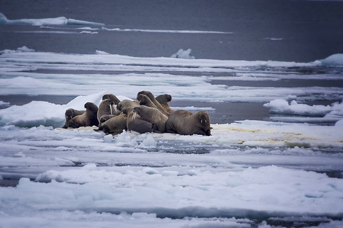 female walrus and young