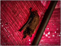 2017-08-31_P8313905c_Bat in umbrella,Clwtr