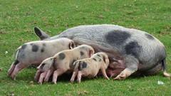 Cerza Zoo - piglet