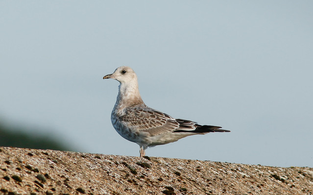 1st calendar year Common Gull,'D' Reservoir,Tophill Low,East  Yorkshire.