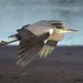 heron 12 2017 in flight