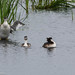 Great Crested Grebe and well grown chicks