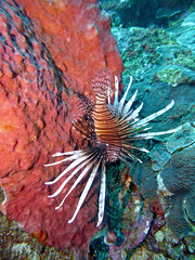 Scuba Diving (Fairyland, Soufriere), St. Lucia (Jun-2016) 04-013