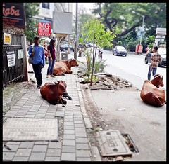 Holy Cows : Occupying the pavement and road