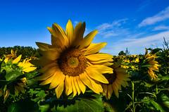 Like Sunflower Power, Man
