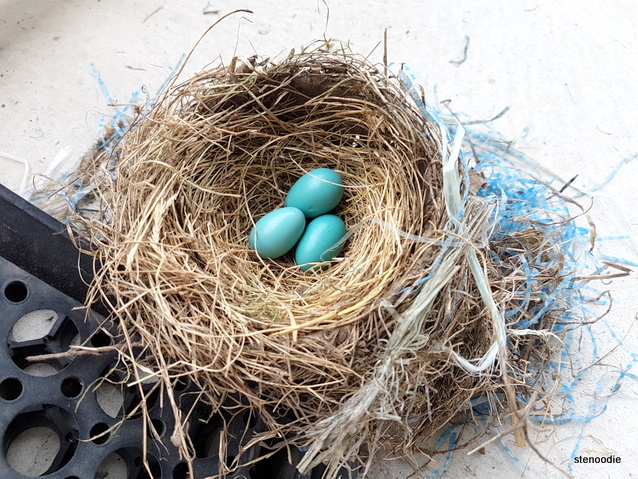 Robin's blue eggs