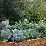 brassica raised bed