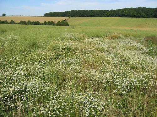 wild chamomile in field