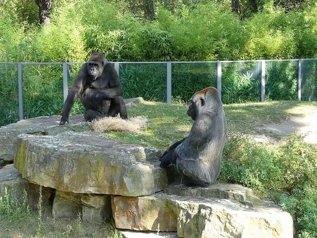 Gorilla Bibi und Mpenzi, Zoo Berlin