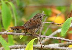 Unk Sparrow (4837)