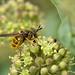 Callicera spinolae by Will_wildlife
