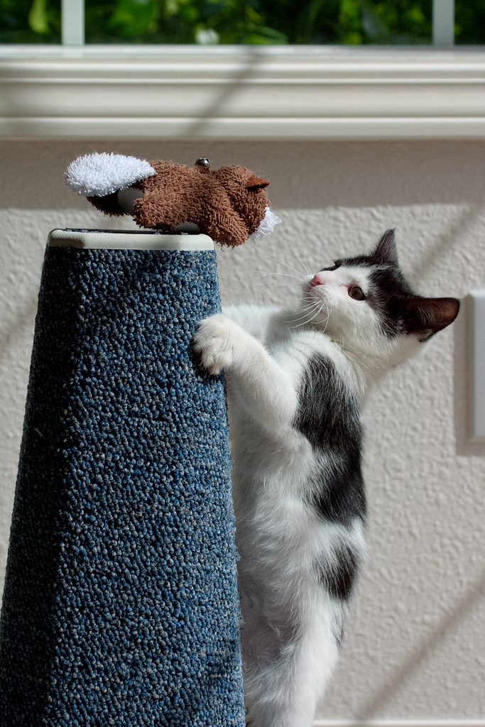 Our kitten Scout jumps onto the scratching post in pursuit of her beaver cat toy