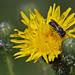 Megachile ligniseca