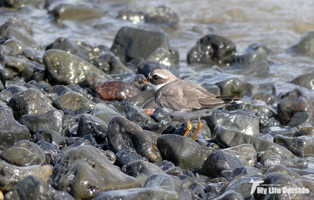 P1120204 - Ringed Plover