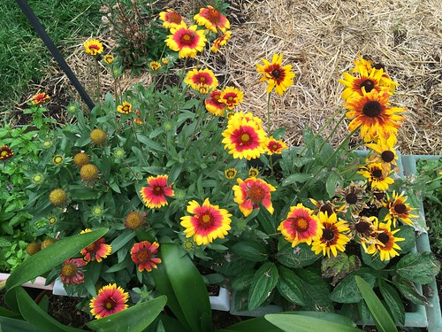 Gaillardia and Rudbeckia