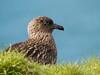 Great skua (Stercorarius skua), Hirta, St Kilda