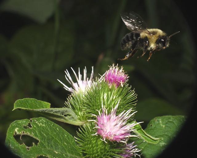Bunble Bee Flying off of a Thistle Flowerhead DSCF3446