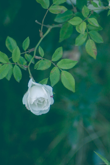 Poetry of a White, Canon EOS 50D, Canon EF 35-80mm f/4-5.6