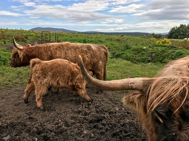 Highland Cows @ Cardhu Distillery