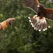 International Birds of Prey Centre (51)