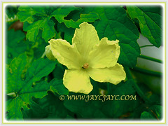 Gorgeous yellow-coloured bloom of Momordica charantia (Bitter Gourd, Bitter Melon, Bitter Squash/Cucumber, Balsam Pear, Peria in Malay), 9 Nov 2011