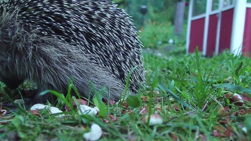 Juvenile hedgehogs have a short round