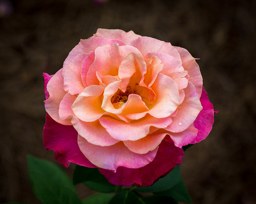 edisto edistomemorialgardens garden orangeburg sc southcarolina flower gold pink rose yellow