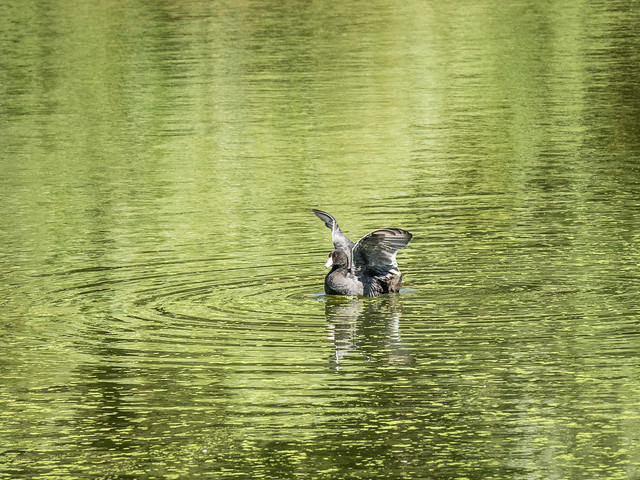 Coot and reflections