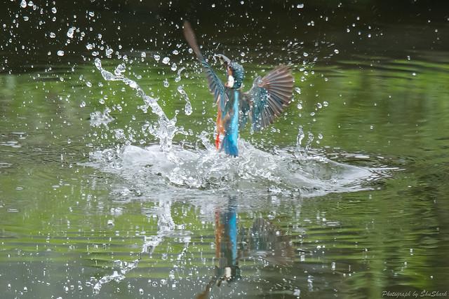 20170819-Kingfisher-DSC_0251